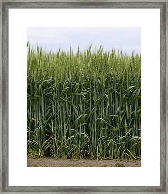 Agriculture - Green Wheat  South Framed Print