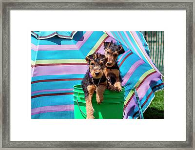Airedale Puppies In A Green Bucket (mr Framed Print