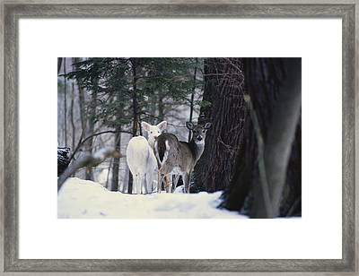 Albino And Normal White-tailed Deer Framed Print