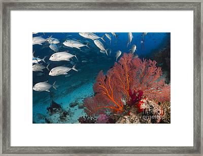 Alconarian And Gorgonian Coral With Schooling Bigeye Jacks Dominate This Fijian Reef Scene_ Fiji Framed Print
