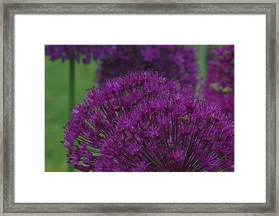 Allium 2 Framed Print by Ken Dietz