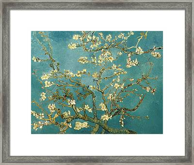 Almond Blossoms Framed Print by Mountain Dreams