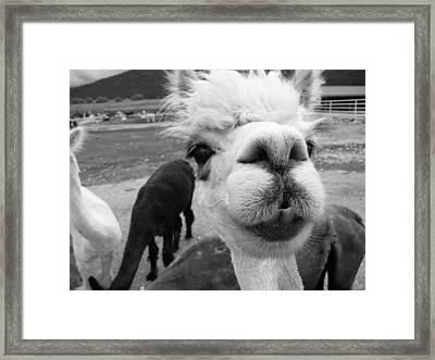 Alpaca Face Framed Print