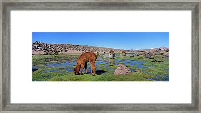 Alpaca (vicugna Pacos Framed Print by Martin Zwick