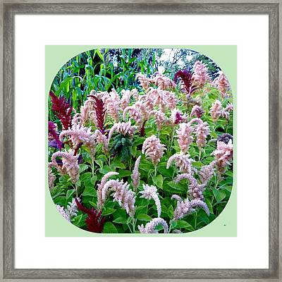 Amaranth Framed Print by Will Borden