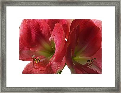 Amaryllis Framed Print by Steffen Gierok