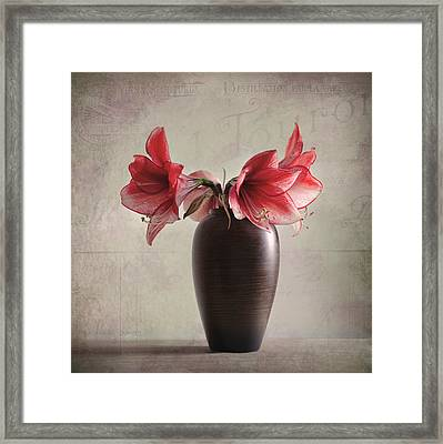 Amaryllis Vinatge Framed Print by Steffen Gierok