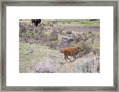 American Bison Calf Running Framed Print by William H. Mullins