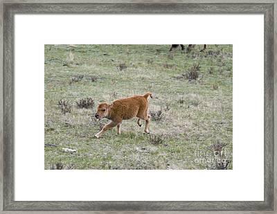 American Bison Calf Framed Print by William H. Mullins