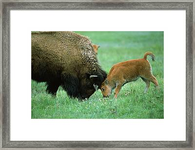 American Bison Cow And Calf Framed Print by Suzi Eszterhas