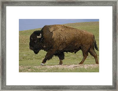 American Bison Male Wyoming Framed Print