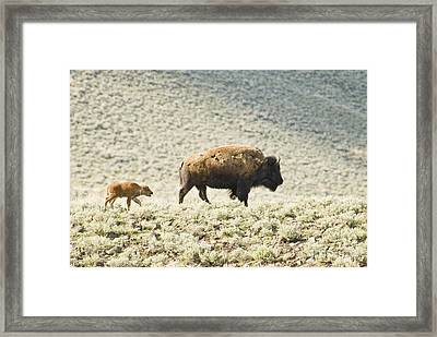 American Bison With Calf Framed Print by William H. Mullins