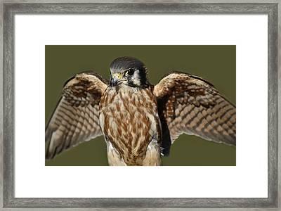 American Kestrel Framed Print by Paulette Thomas