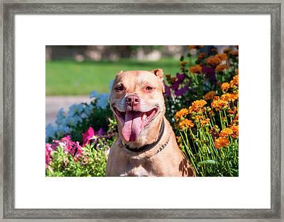 American Pit Bull In Flowers (mr Framed Print