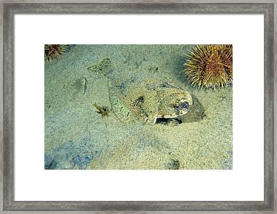 American Plaice Framed Print by Andrew J. Martinez