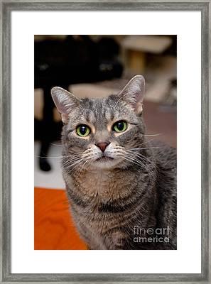 American Shorthair Cat Portrait Framed Print by Amy Cicconi
