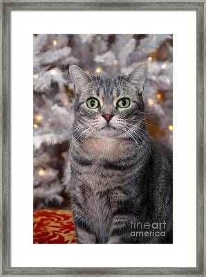 American Shorthair Cat With Holiday Tree Framed Print by Amy Cicconi