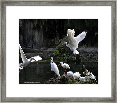 American White Ibis Framed Print