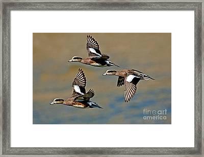 American Wigeon Drakes Framed Print