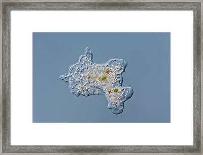 Amoeba Proteus Framed Print by Gerd Guenther
