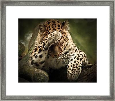 Amur Leopard Framed Print by Chris Boulton