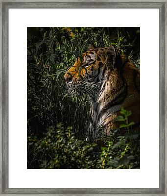 Amur Tiger Framed Print by Ernie Echols
