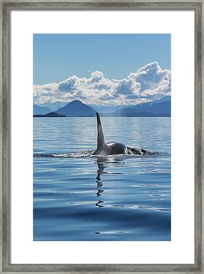 An Orca Whale, Or Killer Whale Framed Print by John Hyde