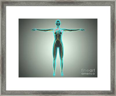 Anatomy Of Female Body With Arteries Framed Print