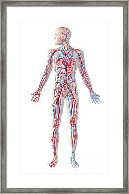 Anatomy Of Human Circulatory System Framed Print