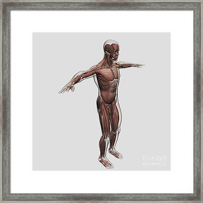 Anatomy Of Male Muscular System, Side Framed Print by Stocktrek Images