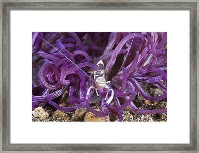 Anemone Commensal Shrimp Framed Print