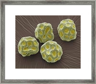 Anemone Pollen Grains Framed Print