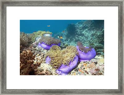 Anemones With Anemonefish Framed Print
