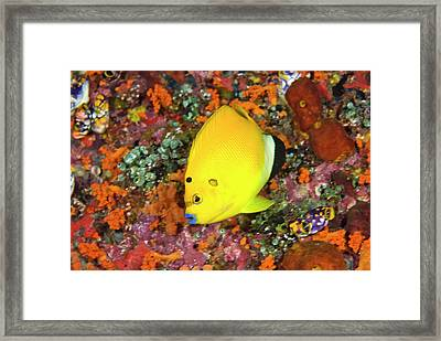 Angelfish, Raja Ampat Islands, Irian Framed Print