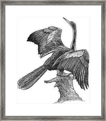 Anhinga Framed Print by Roger Hall
