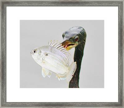 Anhinga With The Catch Of The Day Framed Print by Paulette Thomas