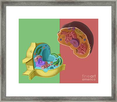 Animal And Plant Cells Framed Print by Spencer Sutton