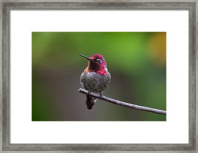Anna's Hummingbird Framed Print by Thy Bun