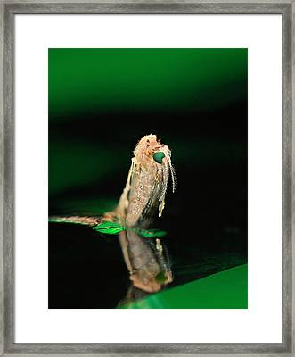 Anopheles Mosquito Emerging From Pupa Framed Print by Cdc
