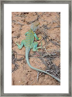 Another Collared Lizard Framed Print