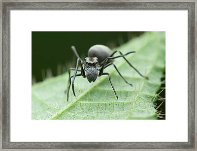 Ant Mimic Jumping Spider Framed Print by Melvyn Yeo