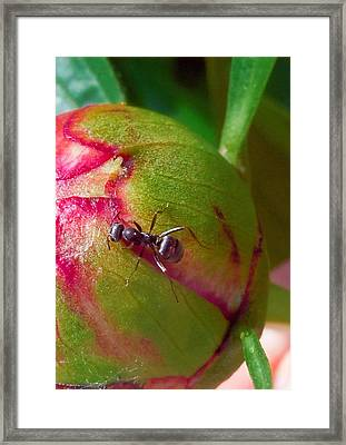 Ant On Peony Bud Framed Print by Barb Baker