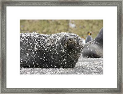 Antarctic Fur Seal In Penguin Feathers Framed Print