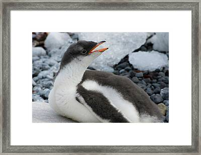 Antarctica Brown Bluff Gentoo Penguin Framed Print by Inger Hogstrom