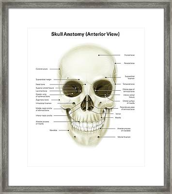 Anterior View Of Human Skull Framed Print