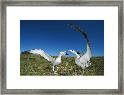Antipodean Albatross Courtship Display Framed Print by Tui De Roy