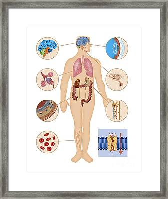 Aquaporin Roles In The Body Framed Print