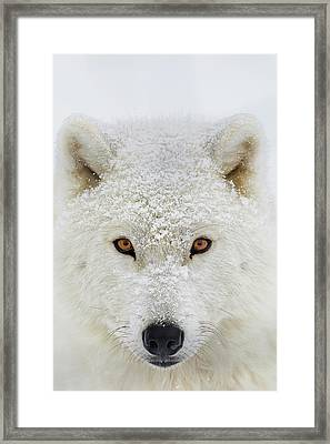 Arctic Wolf  Canis Lupus Arctos Framed Print by Dominic Marcoux