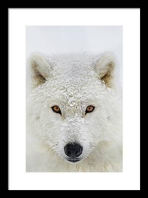 Arctic Wolf Pics Framed Prints