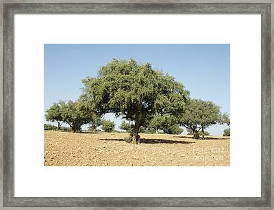 Argan Trees Argania Spinosa Framed Print